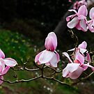 Magnificent Magnolias by DonDavisUK