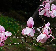 Magnificent Magnolias by DonDavisUK