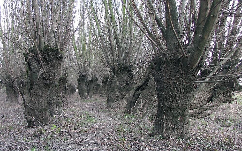 A Forest of Pollard Willows by Hans Bax