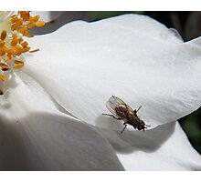 Fly on an Anemone  Photographic Print