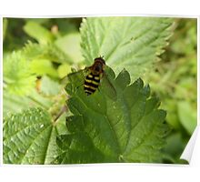 Hoverfly on a Stinging Nettle leaf Poster
