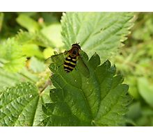 Hoverfly on a Stinging Nettle leaf Photographic Print
