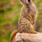 Meercat by John Dickson