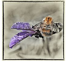 BUMBLE ON LAVENDER Photographic Print