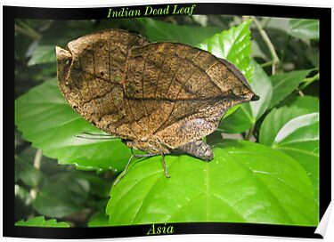 Butterfly (Asia) ~ Indian Dean Leaf by Kimberly Chadwick