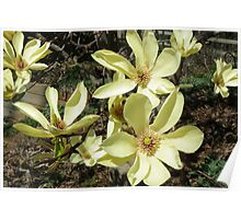 Japanese Magnolia Blossoms Poster