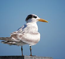 Royal Tern on pier by Ben Waggoner