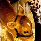 Calf at Mom's Feet by Trudy LeDoux