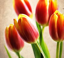 Tulip Aglow by janetlee
