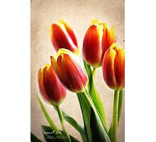 Tulip Aglow Photographic Print