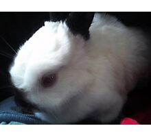 Dwarf Rabbit Photographic Print