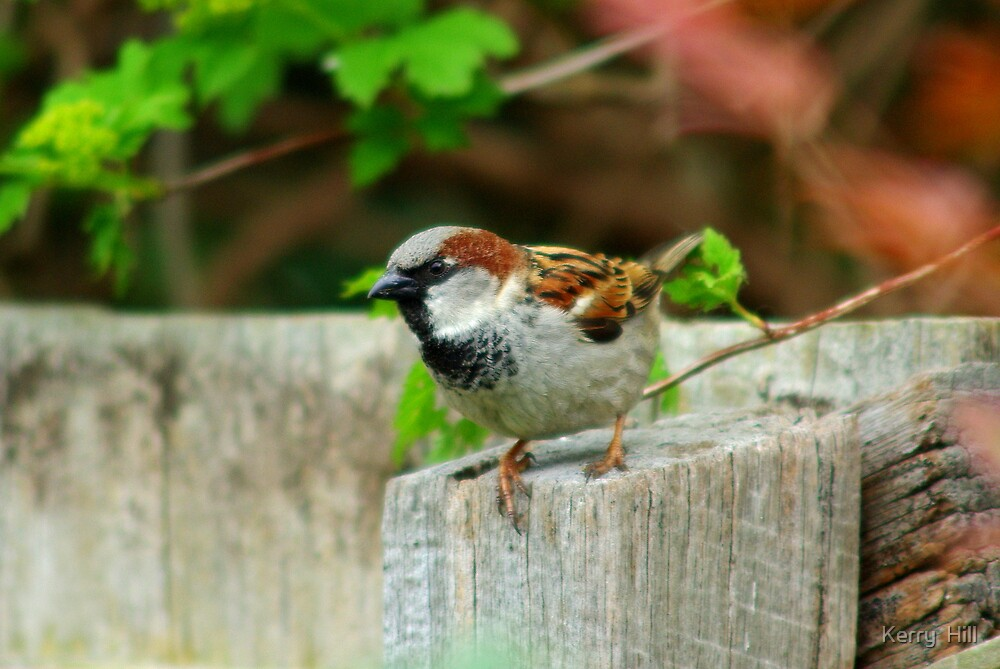 Little sparrow by Kerry  Hill