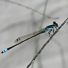 Dragonfly blue by Kristi Bryant