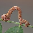 Looper Moth Caterpillar by KiriLees
