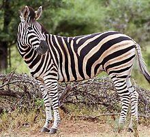 Plains Zebra by Sassie Otto
