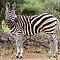 Zebras – May 2011 Avatar