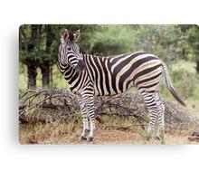 Plains Zebra Metal Print