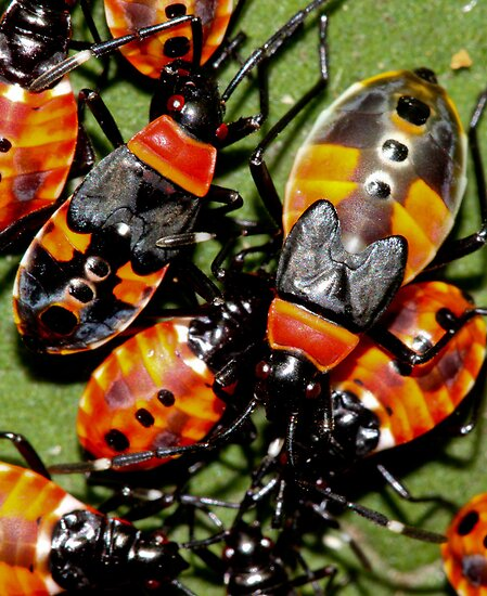 Harlequin bug Family by john  Lenagan