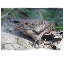 Common Frog (Rana temporaria)  Poster