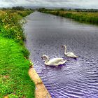 Glasson Swans by John Hare