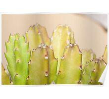 dwarf cactus closeup Poster