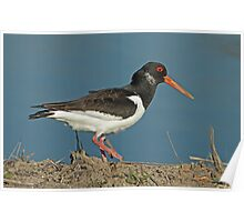 Oystercatcher Close Up Poster