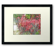 Virginia Creeper on Dune Fence - Fall Colors Framed Print