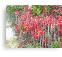 Virginia Creeper on Dune Fence - Fall Colors Canvas Print