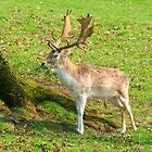 Stag morning by trobe