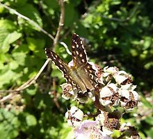Speckled Wood Butterfly  by Deb Vincent