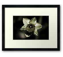 Daffodil HDR Framed Print