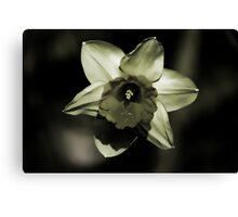 Daffodil HDR Canvas Print
