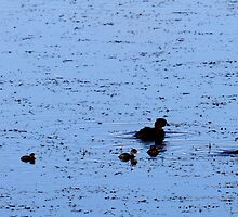 Little Grebe Family / Dobbertjie familie by Antionette