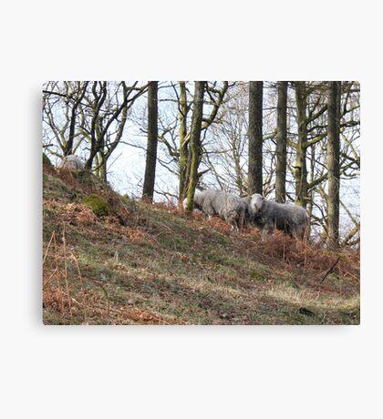 suprise view sheep Canvas Print