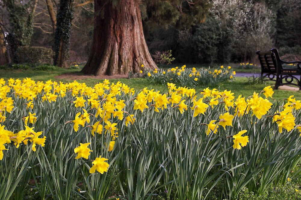 Daffodils and Pete's Seat by James  Key