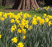 Daffodils by James  Key