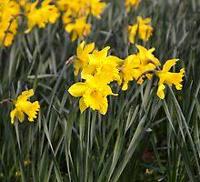 Daffodils by James  Key
