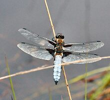 Broad Bodied Chaser 1 by Rex Charlesworth
