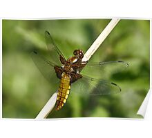 Broad Bodied Chaser 2 Poster