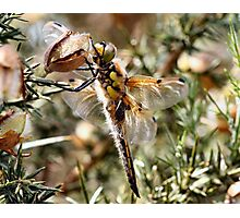 Four Spot Chaser Photographic Print