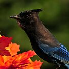 OREGONS   STELLAR BLUE JAY by RoseMarie747