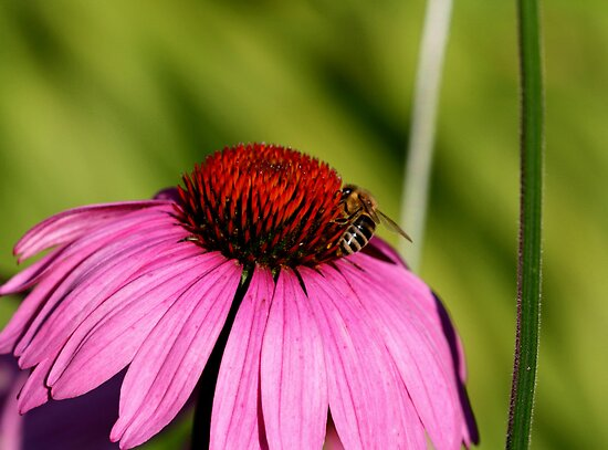 Visitor on a Coneflower by Larry Trupp
