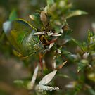 Gorse Shield Bug by jaffa