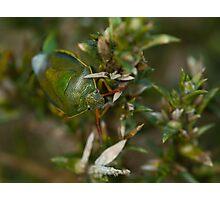 Gorse Shield Bug Photographic Print
