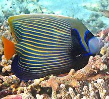 Maldives underwater: Emperor Angelfish by presbi
