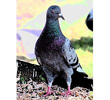 Rock Pigeon Photographic Print