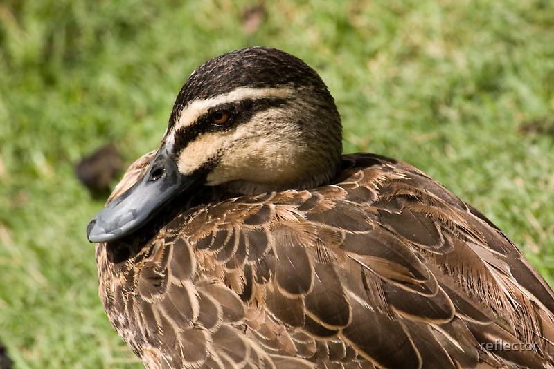 Sitting Duck by reflector