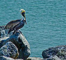 Perching Brown Pelican by Robert H Carney