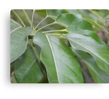 A spiral of glossy tropical leaves Canvas Print