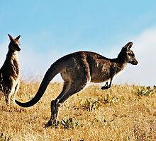 Two Kangaroos by Chris Meder Photography